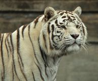 Portrait of a White tiger male. White tiger in Madrid Zoo. Male Portrait Stock Images