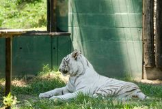 White tiger. Majestic white tiger resting in the zoo Royalty Free Stock Image