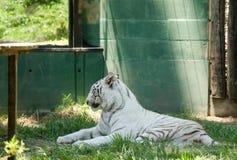 White tiger. Majestic white tiger Royalty Free Stock Image