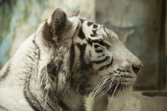 White tiger. A male white tiger looking straight Stock Photo