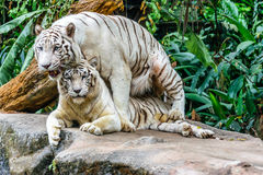 White tiger. Mating tiger at Singapore zoo Royalty Free Stock Photos