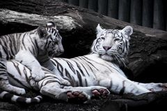 White tiger - mother with baby. White tigers are playing. Little tiger kitten is jumping on her mother royalty free stock image