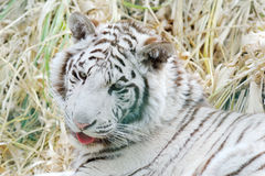 White tiger mouth open. White tiger with mouth open and tongue out Stock Image