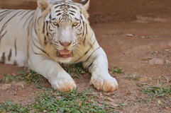 White Tiger. At National park in Sri Lanka Stock Photography