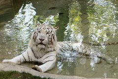 White tiger. In a natural pool Stock Images