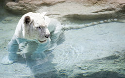 White tiger near the water Stock Photography
