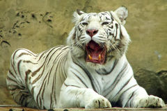 White tiger with open mouth. White tiger with open fanged jaws Royalty Free Stock Photography