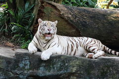 White Tiger 1. White tiger opening its mouth staring at the far side Royalty Free Stock Photo