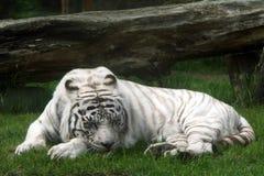 White tiger (panthera tigris) Royalty Free Stock Photography