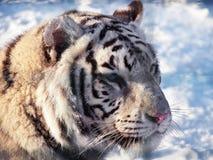 White tiger Panthera tigris bengalensis portrait. A White tiger Panthera tigris bengalensis portrait royalty free stock photography