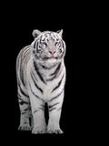 White tiger Panthera tigris bengalensis standing isolated on bla Royalty Free Stock Photo