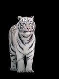 White tiger Panthera tigris bengalensis standing isolated on black. The White tiger Panthera tigris bengalensis standing isolated on black royalty free stock photo