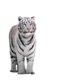 White tiger Panthera tigris bengalensis standing isolated on whi Royalty Free Stock Images