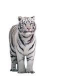White tiger Panthera tigris bengalensis standing isolated on white. The White tiger Panthera tigris bengalensis standing isolated on white royalty free stock images