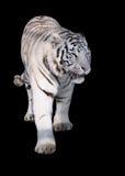 White tiger Panthera tigris bengalensis walking isolated at black. The White tiger Panthera tigris bengalensis walking isolated at black stock images