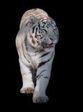 White tiger Panthera tigris bengalensis walking isolated on black. The White tiger Panthera tigris bengalensis walking isolated on black royalty free stock photos