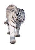 White tiger Panthera tigris bengalensis walking isolated at whit. The White tiger Panthera tigris bengalensis walking isolated at white stock photo