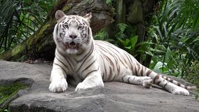 White tiger Panthera tigris resting in the jungle stock video footage
