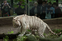 White tiger Panthera tigris tigris. Royalty Free Stock Photos