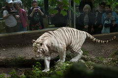 White tiger Panthera tigris tigris. Royalty Free Stock Image