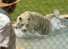 A White Tiger Performs with its Trainer Royalty Free Stock Photography
