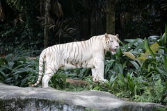White tiger. A pigmentation variant of the Bengal tiger Royalty Free Stock Image