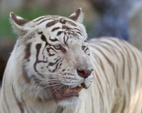 White tiger posing against blurry background. White tiger, a pigmentation variant of the Bengal tiger, Panthera tigris tigris, searching for his pray Royalty Free Stock Photos
