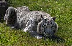 White Tiger. Is a pigmentation variant of the Bengal tiger which is reported in the wild from time to time in some areas of India Stock Photos