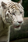 White tiger portrait royalty free stock images