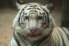 White tiger portrait Royalty Free Stock Photography