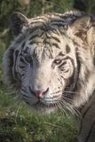 White tiger portrait. Beautiful white tiger portrait in dappled light Royalty Free Stock Photos