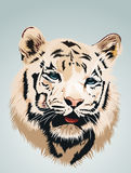 White Tiger - a portrait.  Royalty Free Stock Image