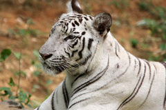White tiger. Portrait of a white bengal tiger in a tiger park, india Royalty Free Stock Photo