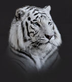 White  Tiger Portrait Royalty Free Stock Image