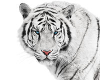 White tiger. Portrait of magnificent white tiger Stock Images