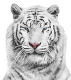 White tiger. Portrait of magnificent white tiger Royalty Free Stock Photos