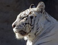 White tiger. Predator safari striped India hunt canines jump pad stock photography