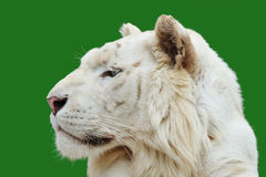 White tiger profile. Photo of white tiger from side view Stock Images