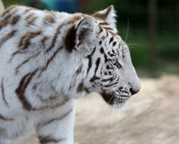White Tiger Profile Royalty Free Stock Photo