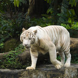 White Tiger Prowl. White Bengal tiger pacing a rocky ledge in a zoo Royalty Free Stock Photos