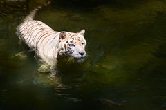 White tiger prowls in water Stock Image