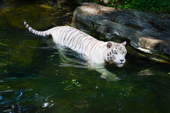 White tiger prowls in water Royalty Free Stock Photo