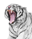 White tiger rage. Portrait of magnificent white tiger Stock Photography