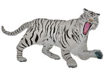 White tiger raging Royalty Free Stock Photos
