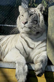 The white tiger Stock Images