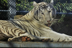 The white tiger Stock Photography
