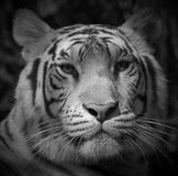 The white tiger. Is a recessive mutant of the Bengal tiger, which was reported in the wild from time to time in Assam, Bengal, Bihar and especially from the Stock Images