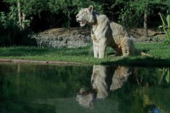 White tiger reflection Stock Image