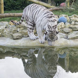 White tiger reflection Royalty Free Stock Photos