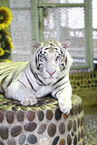 White tiger in relax. Stock Photography